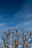 Gnarly Branches of Dried Tree on Blue Sky Royalty Free Stock Image