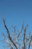 Gnarly Branches of Tree on Blue Sky Vertical Royalty Free Stock Photos