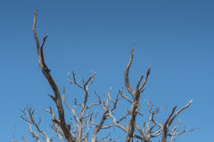 Gnarly Branches of Tree on Clear Blue Sky Stock Photography