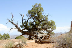 Gnarly Cedar Tree. Arches National Park, Photo of Gnarly Tree along trail to Landscape Arch Royalty Free Stock Photos