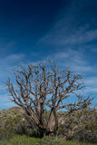 Gnarly Dried Tree in Mojave Desert Stock Photos