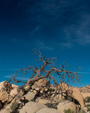 Gnarly Dried Tree On Rocks Below Blue Sky Royalty Free Stock Photography
