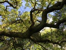 gnarly gammal tree Arkivbilder