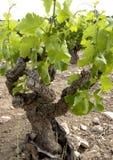 gnarly gammal vine Arkivfoto