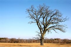 Gnarly kal förgrena sig gammal ek som isoleras i land fotografering för bildbyråer