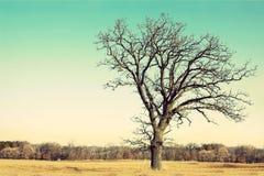 Gnarly kal förgrena sig gammal ek som isoleras i land arkivfoto