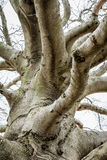 Gnarly Old Barren Tree. An old, gnarly looking tree sits against a gray sky Stock Images