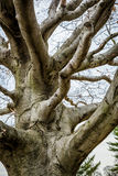 Gnarly Old Barren Tree. An old, gnarly looking tree sits against a gray sky Stock Photography