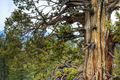 Gnarly Old Cedar Tree Stock Photography