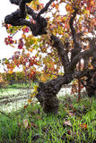 Gnarly old grape vine Royalty Free Stock Photography