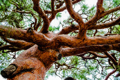 Gnarly old tree Royalty Free Stock Images