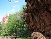 Gnarly Pappel-Baum stockfotos