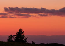 Gnarly Pine Trees with Pink Sunset Stock Photography