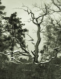 Gnarly retro b-movie tree. Very gnarly dead tree in winter, retro tone in shot, somewhat artificial b-movie /horror trash atmosphere Stock Photos