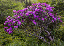 Gnarly Rhododendron Bush Covered in Blooms Stock Photography