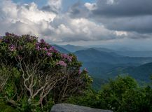 Gnarly Rhododendron Bush Watches Over Valley. In Blue Ridge Mountains Royalty Free Stock Photos