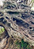 Gnarly roots on uprooted tree stock images