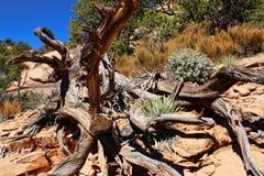 Gnarly rotar av Uprooted trädet Arkivbild