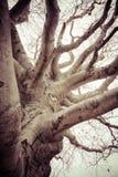 Gnarly Stary Jałowy drzewo Zdjęcia Royalty Free