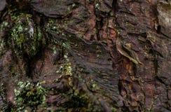 Gnarly trädskäll Rushmere Bedfordshire Royaltyfri Bild