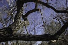 Gnarly Tree Branches. A gnarly tree branches stretches across the sky Stock Photography