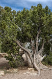 Gnarly tree in Grand Canyon Royalty Free Stock Photography