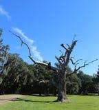 Gnarly Tree Royalty Free Stock Image