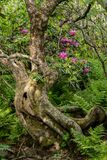 Gnarly Tree and Rhododendron Bushes Royalty Free Stock Photo