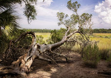 Gnarly tree in the swamplands. Beautiful gnarly tree in the southern swamps Royalty Free Stock Photos