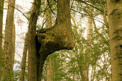 A gnarly tree trunk in a forest Royalty Free Stock Photography