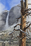 Gnarly Tree and Upper Yosemite Falls Royalty Free Stock Images
