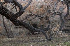 Gnarly zim drzewa Zdjęcia Stock
