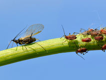 Gnat and aphids on stem Stock Image