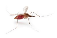 Gnat or mosquito Stock Images
