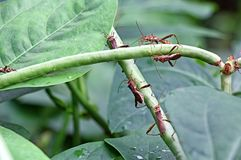 Gnat Pests attack Cowpea Stock Photography