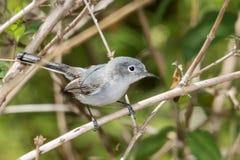 Gnatcatcher голубого серого цвета стоковые фотографии rf