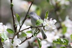 Gnatcatcher Azul-cinzento com flores Fotografia de Stock Royalty Free