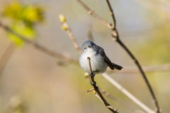 gnatcatcher Azul-gris Fotos de archivo