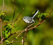 Gnatcatcher Bleu-gris image stock