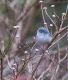 gnatcatcher Bleu-gris (caerulea de Polioptila) photographie stock