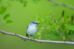 gnatcatcher Blu-grigio Immagine Stock Libera da Diritti