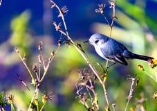 Gnatcatcher Blu-grigio su un ramo Fotografia Stock Libera da Diritti