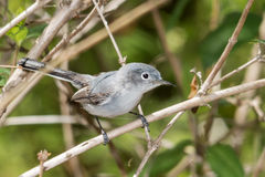 Gnatcatcher de gris bleu Photos libres de droits