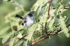 Gnatcatcher-vogel met zwarte staart, Tucson Arizona stock afbeelding