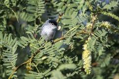 Gnatcatcher-vogel met zwarte staart, Tucson Arizona royalty-vrije stock fotografie