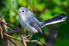 Gnatcher Bleu-gris images stock