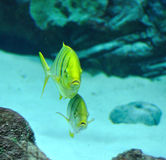 Gnathanodon speciosus black stripes yellow fish Royalty Free Stock Photography