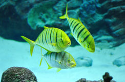 Gnathanodon speciosus black stripes yellow fish Royalty Free Stock Photos