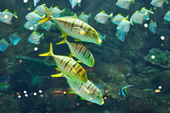 Gnathanodon speciosus black stripes yellow fish Royalty Free Stock Images