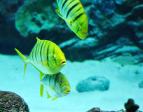 Gnathanodon speciosus black stripes yellow fish Stock Image